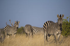 Plains Zebra in long grass Royalty Free Stock Photos
