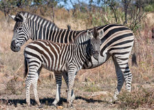 Plains Zebra, mother and foal. Plains (Burchell's) Zebra with foal, Pileanesberg South Africa Royalty Free Stock Photography