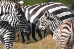 Plains zebra mother and foal stock image