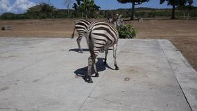 Plains Zebra in natural habitat, South Africa stock video