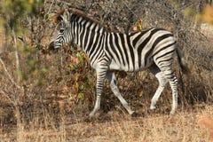 Plains a zebra no arbusto fotografia de stock