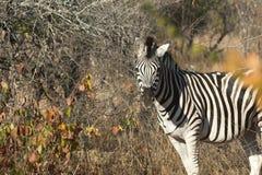Plains a zebra no arbusto foto de stock