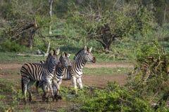 Plains a zebra no parque nacional de Kruger, África do Sul Fotografia de Stock Royalty Free