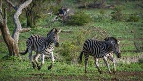 Plains a zebra no parque nacional de Kruger, África do Sul Imagens de Stock Royalty Free
