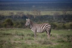 Plains a zebra no savana verde Foto de Stock Royalty Free