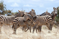The plains zebra playing in Tsavo national park. Royalty Free Stock Image