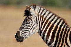 Plains Zebra portrait Stock Image