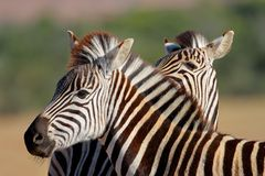 Plains Zebra portrait Royalty Free Stock Photos