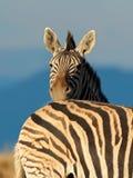 Plains Zebra portrait Royalty Free Stock Photography