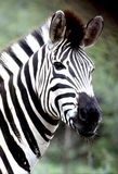Plains Zebra portrait at Hluhluwe-Umfolozi Game Reserve Stock Photo
