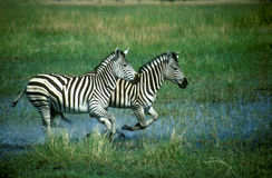 Plains a zebra, quagga do Equus Foto de Stock