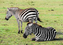 A Plains Zebra Rests as the Other Keeps Watch. royalty free stock image