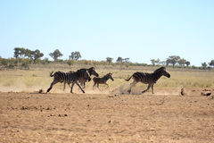 Plains zebra running Royalty Free Stock Image