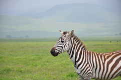 Plains Zebra in Tanzania Stock Photography