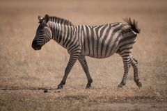 Plains zebra walks across savannah swishing tail royalty free stock photos