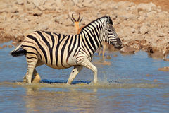 Plains Zebra in water Royalty Free Stock Image