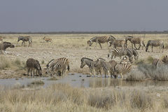 Plains Zebra at Watering Hole, Etosha National Park, Namibia Stock Photography