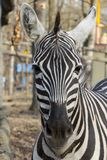 Plains zebra in winter royalty free stock photo