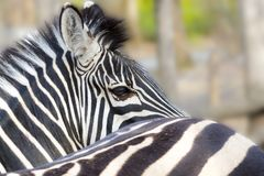 Plains zebra in winter royalty free stock photos