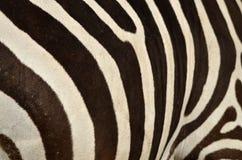 Plains zebra (Equus quagga) Royalty Free Stock Photos
