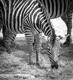 Plains Zebra in Zoo Bratislava Royalty Free Stock Photos