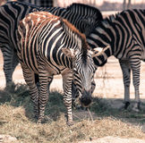 Plains Zebra in Zoo Bratislava Stock Photography