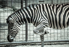 Plains Zebra in Zoo Bratislava Stock Photo