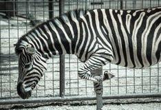 Plains Zebra in Zoo Bratislava Stock Photo