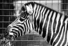 Plains Zebra in Zoo Bratislava Royalty Free Stock Photos