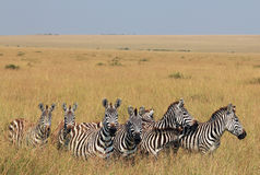 Plains Zebras Royalty Free Stock Images