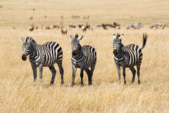 Plains Zebras lizenzfreie stockfotos