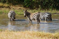 Plains Zebras stockbilder