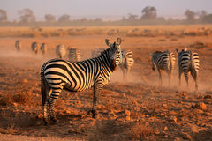 Plains Zebras Stock Photos