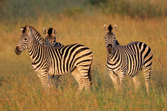 Plains Zebras Stockbilder