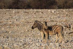 Plains Zebras Stock Photo