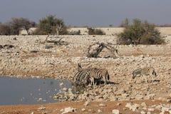 Plains Zebras Stock Photography