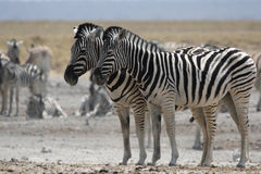 Plains Zebras Royalty Free Stock Photo