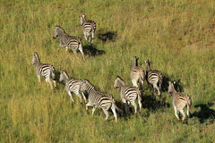 Plains Zebras Stock Images
