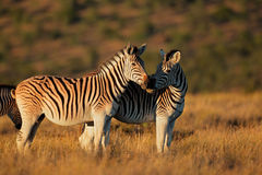 Plains Zebras Royalty Free Stock Photography
