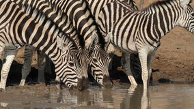 Plains Zebras drinking Stock Photography