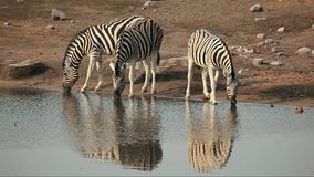 Plains Zebras drinking Royalty Free Stock Photo