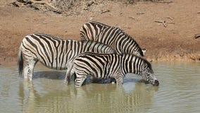 Plains Zebras drinking Stock Photos