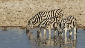 Plains Zebras drinking Stock Image