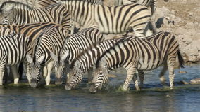 Plains Zebras drinking stock footage