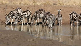 Plains Zebras drinking Royalty Free Stock Photography