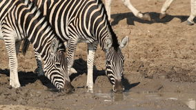 Plains Zebras drinking Stock Photos