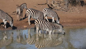Plains Zebras drinking stock video footage