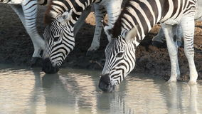 Plains Zebras drinking. Close-up of plains (Burchell's) Zebras (Equus quagga) drinking water, Mkuze game reserve, South Africa stock video