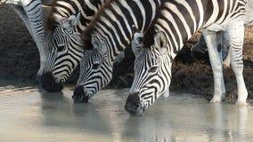 Plains Zebras drinking stock video