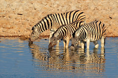 Plains Zebras drinking water Royalty Free Stock Photography